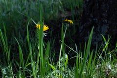 Κίτρινη πικραλίδα στην πράσινη χλόη στοκ εικόνες με δικαίωμα ελεύθερης χρήσης