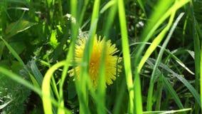 Κίτρινη πικραλίδα στη χλόη το υπόβαθρο αέρα φιλμ μικρού μήκους