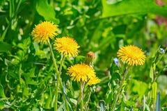 Κίτρινη πικραλίδα λουλουδιών στη χλόη Στοκ φωτογραφία με δικαίωμα ελεύθερης χρήσης