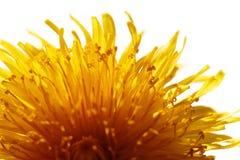 Κίτρινη πικραλίδα Στοκ φωτογραφία με δικαίωμα ελεύθερης χρήσης