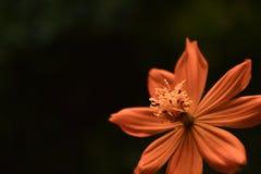 Κίτρινη πορτοκαλιά κινηματογράφηση σε πρώτο πλάνο λουλουδιών Coreopsis Tickseed στοκ φωτογραφίες με δικαίωμα ελεύθερης χρήσης