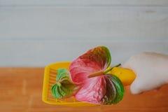 Κίτρινη πλαστική σέσουλα για τα απορρίματα γατών που καθαρίζουν whith το anthurium λουλούδι - συμπαθητική μυρωδιά και καμία έννοι Στοκ Εικόνα