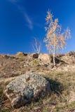 Κίτρινη σημύδα Στοκ Φωτογραφίες