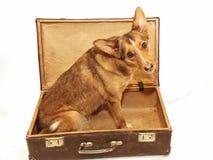 Κίτρινη συνεδρίαση σκυλιών στην ανοικτή τσάντα η ανασκόπηση απομόνωσε το λευκό στοκ φωτογραφία με δικαίωμα ελεύθερης χρήσης