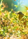 Κίτρινη συλβία (petechia Setophaga) Στοκ Εικόνα