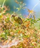 Κίτρινη συλβία (petechia Setophaga) Στοκ εικόνες με δικαίωμα ελεύθερης χρήσης