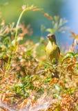 Κίτρινη συλβία (petechia Setophaga) Στοκ Φωτογραφία
