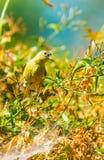 Κίτρινη συλβία (petechia Setophaga) Στοκ Φωτογραφίες