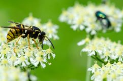 Κίτρινη σφήκα που αναρριχείται και που ταΐζει με ένα νέκταρ Στοκ Εικόνα