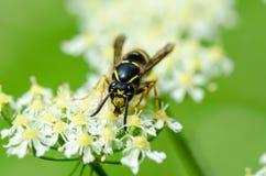 Κίτρινη σφήκα που αναρριχείται και που ταΐζει με ένα νέκταρ Στοκ Φωτογραφία