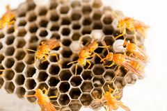 Κίτρινη σφήκα στην κηρήθρα στη φύση Στοκ εικόνα με δικαίωμα ελεύθερης χρήσης