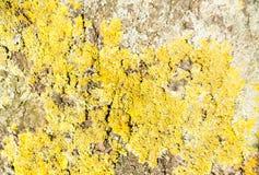 Κίτρινη σύσταση λειχήνων Στοκ φωτογραφίες με δικαίωμα ελεύθερης χρήσης