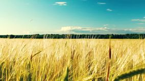 Κίτρινη ταλάντευση σίτου αυτιών στον αέρα Ανάπτυξη σίτου στον τομέα, μπλε ουρανός απόθεμα βίντεο