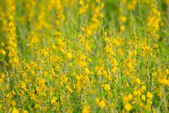 κίτρινη ταπετσαρία του κίτρινου λουλουδιού Στοκ φωτογραφίες με δικαίωμα ελεύθερης χρήσης