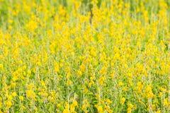 κίτρινη ταπετσαρία του κίτρινου λουλουδιού Στοκ Φωτογραφίες