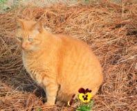 Κίτρινη τιγρέ συνεδρίαση γατών από ένα Pansy στοκ φωτογραφία