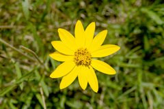 Κίτρινη τοπ άποψη λουλουδιών μαργαριτών στο πράσινο περιβάλλον στοκ εικόνες