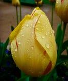 Κίτρινη τουλίπα μια βροχερή ημέρα στο Παρίσι στοκ φωτογραφία με δικαίωμα ελεύθερης χρήσης
