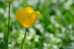 Κίτρινη τουλίπα, πράσινη ανασκόπηση Στοκ Εικόνες