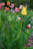 Κίτρινη τουλίπα στον κήπο Στοκ Φωτογραφίες
