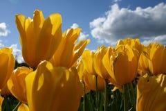 Κίτρινη τουλίπα με το σύννεφο και τον ουρανό Στοκ φωτογραφίες με δικαίωμα ελεύθερης χρήσης
