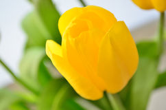 Κίτρινη τουλίπα Στοκ Εικόνα