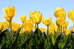 Κίτρινη τουλίπα Στοκ φωτογραφία με δικαίωμα ελεύθερης χρήσης