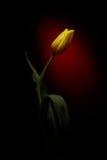Κίτρινη τουλίπα Στοκ εικόνα με δικαίωμα ελεύθερης χρήσης