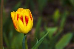 Κίτρινη τουλίπα Στοκ Φωτογραφία