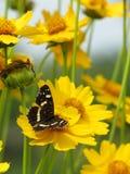 Κίτρινη φωτογραφία λουλουδιών και πεταλούδων ομορφιάς Στοκ Εικόνες