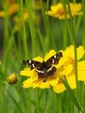 Κίτρινη φωτογραφία λουλουδιών και πεταλούδων ομορφιάς Στοκ φωτογραφία με δικαίωμα ελεύθερης χρήσης