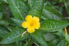 Κίτρινη χλωρίδα Στοκ Εικόνες