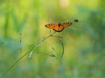 Κίτρινη χλόη πεταλούδων Στοκ Εικόνα