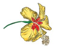 Κίτρινη Hibiscus διανυσματική απεικόνιση λουλουδιών - χέρι που σύρεται στοκ εικόνες