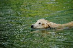 Κίτρινη retriever του Λαμπραντόρ κολύμβηση και σφαίρες αντισφαίρισης παιχνιδιού στη φυσική λίμνη Στοκ Εικόνα