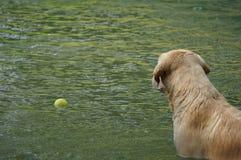 Κίτρινη retriever του Λαμπραντόρ κολύμβηση και σφαίρες αντισφαίρισης παιχνιδιού στη φυσική λίμνη Στοκ Φωτογραφία