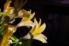 Κίτρινοι ευκολότεροι κρίνοι 003 ημέρας ανοίξεων στοκ φωτογραφίες με δικαίωμα ελεύθερης χρήσης