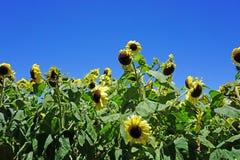 Κίτρινοι ηλίανθοι σε έναν τομέα το καλοκαίρι Στοκ φωτογραφίες με δικαίωμα ελεύθερης χρήσης