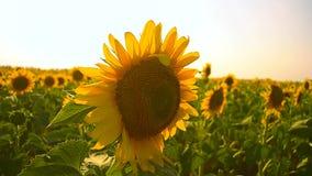 Κίτρινοι ηλίανθοι που ταλαντεύονται στον ηλιόλουστο τομέα ηλίανθων ημέρας αέρα απόθεμα βίντεο