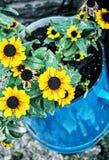 Κίτρινοι ηλίανθοι στο μπλε δοχείο μετάλλων, διακόσμηση κήπων Στοκ φωτογραφία με δικαίωμα ελεύθερης χρήσης