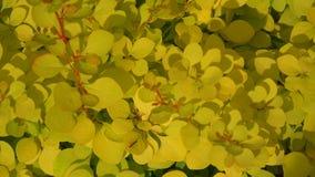 Κίτρινοι θάμνοι barberry 4K απόθεμα βίντεο