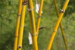 Κίτρινοι κάλαμοι σε ένα δάσος μπαμπού Στοκ Εικόνα