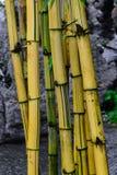 Κίτρινοι κορμοί μπαμπού μπροστά από το γκρίζο υπόβαθρο πετρών στοκ φωτογραφίες