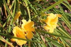 Κίτρινοι κρίνοι με τους οφθαλμούς και τα φύλλα στοκ εικόνα με δικαίωμα ελεύθερης χρήσης