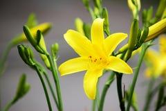 Κίτρινοι κρίνοι στον κήπο ανασκόπηση που χρωματίζεται Στοκ Φωτογραφία