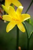 Κίτρινοι κρίνοι στον κήπο ανασκόπηση που χρωματίζεται Στοκ Εικόνες