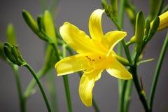Κίτρινοι κρίνοι στον κήπο ανασκόπηση που χρωματίζεται Στοκ εικόνα με δικαίωμα ελεύθερης χρήσης