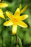 Κίτρινοι κρίνοι στον κήπο ανασκόπηση που χρωματίζεται Στοκ εικόνες με δικαίωμα ελεύθερης χρήσης