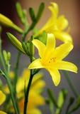 Κίτρινοι κρίνοι στον κήπο ανασκόπηση που χρωματίζεται Στοκ Φωτογραφίες