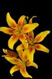 Κίτρινοι κρίνοι Στοκ Εικόνα
